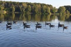 Pąkli gąski pływają w jeziorze, ptaki w naturze w wodzie fotografia stock