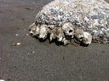 Pąkli skała 1 Zdjęcia Stock