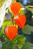 Pęcherzycy alkekengi lub Chińskiego lampionu rośliny Obraz Royalty Free