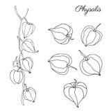 Pęcherzycy doodle ręka rysujący wektorowy nakreślenie odizolowywający na białym tle, graficzny jagoda set, Organicznie zdrowy jed ilustracja wektor