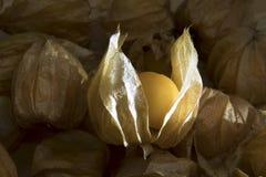 Pęcherzycy owoc lub przylądków agresty owocowi na natury tle Fotografia Royalty Free