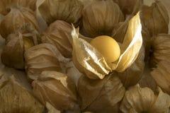 Pęcherzycy owoc lub przylądków agresty owocowi na natury tle Fotografia Stock