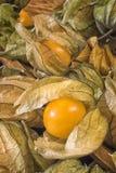 Pęcherzycy owoc & x28; Pęcherzycy peruviana& x29; także nazwany przylądka agrest, Fotografia Royalty Free