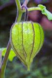 Pęcherzycy owoc & x28; Pęcherzycy peruviana& x29; także nazwany przylądka agrest, Zdjęcia Royalty Free