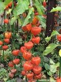 Pęcherzycy peruviana lub przylądka agrestowy drzewo Fotografia Royalty Free