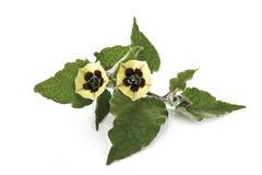 Pęcherzycy rośliny kwiaty (pęcherzycy peruviana) Zdjęcie Stock