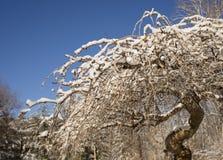Płacząca wiśnia w zimie obrazy stock