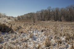 Płacząca wiśnia w zimie zdjęcie stock