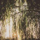 Płacząca wierzba Fotografia Stock
