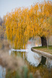 Płacząca wierzba na jeziorze Zdjęcia Royalty Free