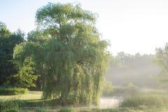 Płacząca wierzba na mgłowym ranku Fotografia Stock