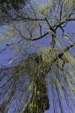 Płacząca wierzba na niebieskiego nieba backgroud Fotografia Stock