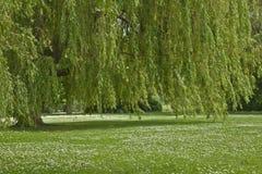 Płacząca wierzba na riverbank wiosny dniu Obrazy Stock