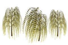 płaczące willow royalty ilustracja
