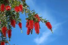 Płaczący Bottlebrush drzewo Zdjęcia Royalty Free