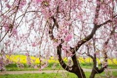 Płaczący czereśniowi okwitnięcia i żółty nanohana pole przy Gongendo parkiem, Satte, Saitama, Japonia Fotografia Stock