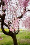 Płaczący czereśniowi okwitnięcia i żółty nanohana pole przy Gongendo parkiem, Satte, Saitama, Japonia Obraz Stock