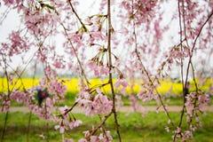 Płaczący czereśniowi okwitnięcia i żółty nanohana pole przy Gongendo parkiem, Satte, Saitama, Japonia Obrazy Royalty Free