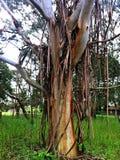 Płaczący Gumowy drzewo Zdjęcia Royalty Free