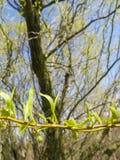 Płacze wierzbowego drzewa pączki Fotografia Stock