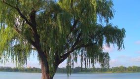 Płacze Wierzbowy drzewo zbiory