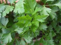 płaska kontynentalna liść pietruszka Zdjęcia Stock