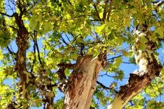 Płaski drzewa miejsca des Lices świątobliwy tropez France Zdjęcia Stock
