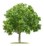 Płaski drzewo na białym tle Obraz Stock