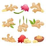 Płaski wektorowy ustawiający imbirowi korzenie, kwiaty i proszek, karmowy zdrowy naturalny Aromatyczny Condiment ilustracja wektor