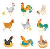Płaski wektorowy ustawiający z kurczakami, małymi kurczątkami i kogutami, Rolni ptaki ptactwo domowe Elementy dla reklamowego pla ilustracji