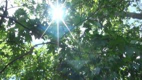 Płaskiego drzewa ulistnienie 1 zbiory