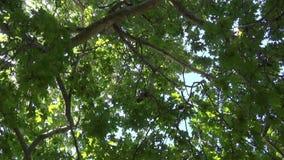 Płaskiego drzewa ulistnienie zbiory wideo