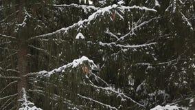 Płatek śniegu spada w zwolnionym tempie na świerczynie i sosen gałąź zakrywających z śniegiem Zima dzień w jedlinowego drzewa les zbiory