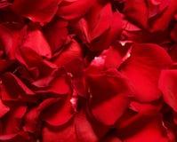 płatek czerwień wzrastał Zdjęcia Royalty Free