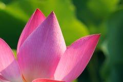 Płatek Lotus obraz royalty free