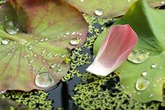 płatek spadać lotosowe menchie Obrazy Royalty Free