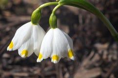 Płatka śniegu kwiat - rzadki wiosna kwiat Zdjęcia Royalty Free