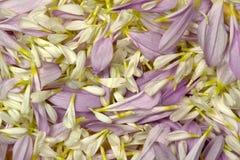 płatki kwiatów Fotografia Stock