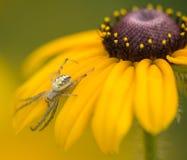 Płatki na pająku Zdjęcia Stock