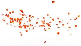 Płatki pomarańcze róża latają daleko w odległość ilustracji