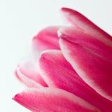 płatki różowią tulipanu Obraz Stock