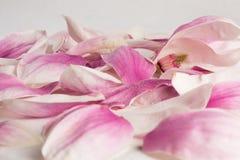 Płatki zakrywający kropelkami magnoliowy kobus Zdjęcie Royalty Free