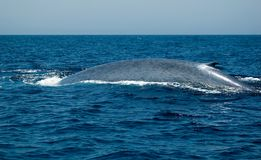 płetwal błękitny Zdjęcia Stock