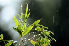 Płocha liście zamknięci up pod deszczem podczas lata Obraz Stock