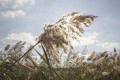 Płocha, rzeczna roślinność Zdjęcie Royalty Free