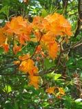 Płomień azalia, Rododendronowy calendulaceum Obraz Stock