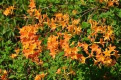 Płomień azalia (Rododendronowy calendulaceum) Zdjęcie Stock