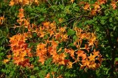 Płomień azalia (Rododendronowy calendulaceum) Obraz Stock