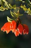 Płomień las, Afrykański Tulipanowy Drzewo Zdjęcie Royalty Free