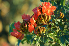 Płomień las, Afrykański Tulipanowy Drzewo Zdjęcia Stock